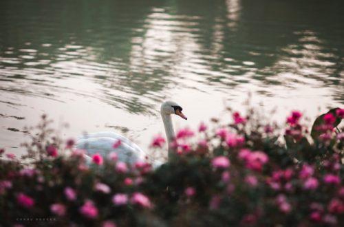 Chào xuân, hơn một triệu bông hồng nở hoa rực rỡ khắp Ecopark